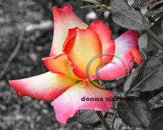 Cool photo of a rose