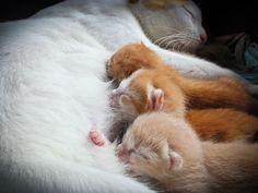 Роды у кошки (видео): приготовьтесь стать участником чуда Смотри больше http://kot-pes.com/rody-u-koshki-video-prigotovtes-stat-uchastnikom-chuda/