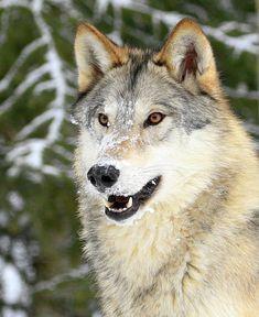 Snowy Grey Wolf -- by © Steve McKinzie grey wolves, wolf, wolves Wolf Photos, Wolf Pictures, Wolf Photography, Wildlife Photography, Beautiful Wolves, Animals Beautiful, Malamute, Canis Lupus, Wolf Hybrid