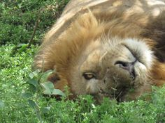 Large male lion opens one eye to see who's watching