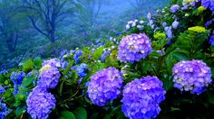 Hydrangea (Hydrangeaceae) is more known under its popular name of hortensia. It is a genus of aobut 75 species of plants growing naturally in Eastern and Southern Asia, but which were successfully brought in Europe and America. It is the most diverse species of flower in Eastern Asia, where the evergreen hydrangeas can be found. The species that are cultivated in Europe and America are all deciduous.