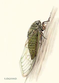 クマゼミ Pictures Of Insects, Pictures To Draw, Colored Pencils, Rose, Drawings, Animals, Sketches, Animales, Pink