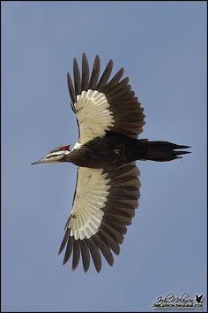 Piliated Woodpecker. Nice shot!