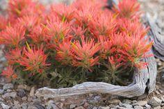 Desert flower.  Moab, Utah, USA