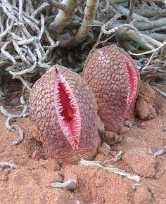 Scary Vulva plant!