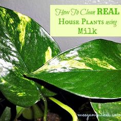 How to Clean Real Houseplants Using Milk!