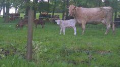 Farm animals @ Duncarnock hill.
