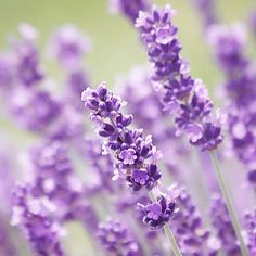 In one German study, a specially formulated lavender pill (not available in the U.S.) was shown to reduce anxiety symptoms in people with Generalized Anxiety Disorder (GAD) as effectively as lorazepam (brand name: Ativan), an anti-anxiety medication in the same class as Valium. You can see the study at http://www.ncbi.nlm.nih.gov/pubmed/19962288