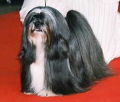 If I let Becky's hair grow long. Lhasa Apso