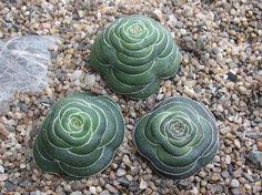 Crassula hemispharicus [Family: Crassulaceae]