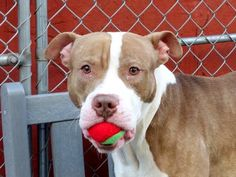 TO BE DESTROYED - 02/17/15 Manhattan Center -P My name is GERRARD. My Animal ID # is A1027525. I am a male brown and white am pit bull ter mix. The shelter thinks I am about 1 YEAR 6 MONTHS old. I came in the shelter as a SEIZED on 02/08/2015 from NY 10301, owner surrender reason stated was OWN ARREST. I came in with Group/Litter #K15-003562. https://www.facebook.com/photo.php?fbid=960104804002399