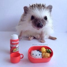 Primarily, these animals are considered to be insectivores meaning as they love to eat insects. But, there are times they will eat plants and different variety of animals when available. Happy Hedgehog, Cute Hedgehog, Cute Little Animals, Cute Funny Animals, Pygmy Hedgehog, All Things Cute, Cute Creatures, Exotic Pets, Animal Memes