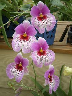 Orchids, Big Island, Hawaii