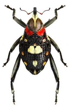 Macrocopturus rugosicollis
