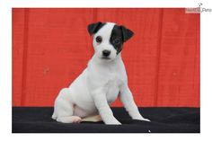 Roxy / Jack Russell | Jack Russell Terrier puppy for sale near Lancaster, Pennsylvania | a713319b-a7d1