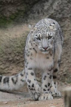 Help save the snow leopards