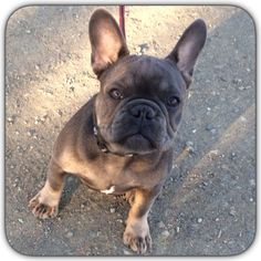 Babydogfriendshipfrenchbulldogivetteivens Cutie - Ivette ivens baby bulldog