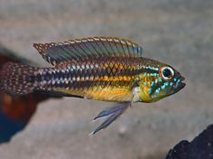 "Apistogramma sp. ""Miua"", male"