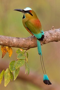 The Turquoise-browed Motmot (Eumomota superciliosa) also called Torogoz by the inhabitants of El Salvador and Guardabarranco in Nicaragua; is a colourful, medium-sized bird of the motmot family, Momotidae. It inhabits Central America from south-east Mexico (mostly the Yucatán Peninsula), to Costa Rica, where it is common and not considered threatened.