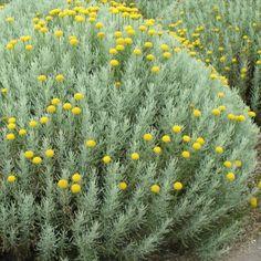 Petit arbuste décoratif pour son feuillage argenté, persistant et aromatique ainsi que pour ses fleurs estivales en pompons jaunes.