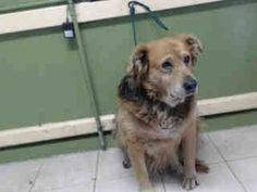 #A3793640 My name is Cali and I'm an approximately 9 years, 10 month old female germ shepherd. I am already spayed. I have been at the Carson Animal Care Center since January 13, 2015. I will be available on January 23, 2015. You can visit me at my temporary home at CRACK. https://www.facebook.com/171850219654287/photos/pb.171850219654287.-2207520000.1421365391./358799734292667/?type=3&theater