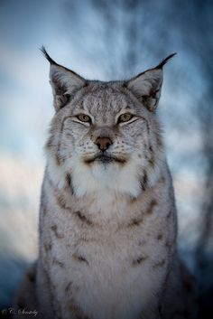 Lynx. In Harry Potter, this is what Kingsley Shacklebolt's partonus is!