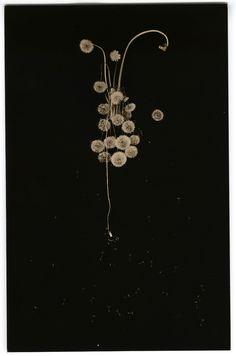 Masao Yamamoto, A Box of Ku #36; Dandelions, 1991; Gelatin silver print