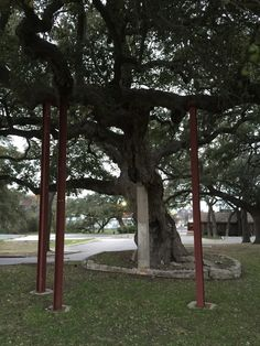 Smokehouse Oak tree. Notice the supports helping this old tree