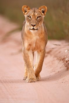 Lioness - Lioness in the Kgalagadi Transfrontier Park