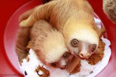 Lots of cuddling in a bucket. | The 29 Cutest Sloths That Ever Slothed