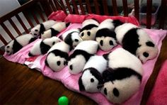 This crib FULL of squishy baby pandas and 20 other pictures that will turn your heart to goo! Buzzfeed