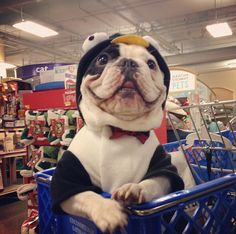 This is Manny. He's a French bulldog that grocery shops in a penguin suit.