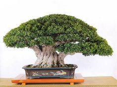 Ficus Microcarpa, True Confessions, Bonsai Styles, Bonsai Garden, Meaning Of Life, Wedding Designs, Terrarium, Meant To Be, Herbs