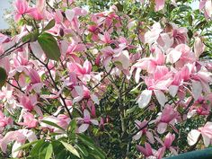 Magnolia ~ Star Wars can flower twice Nothing Gold Can Stay, Magnolia Trees, Magnolias, Garden Styles, Landscape Design, Star Wars, Bloom, Stars, Spring