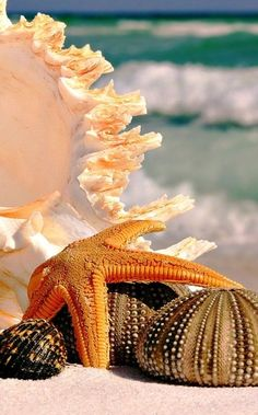 From the Sea. Shells,Starfish and Sea Urchins. I Love The Beach, Ocean Life, Ocean Beach, Marine Life, Sea Creatures, Belle Photo, Under The Sea, Sea Shells, Scenery