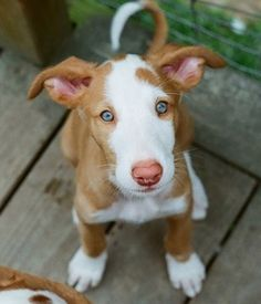 Ibizan Hound Puppy Pictures