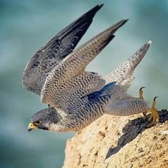 Peregrine Falcon--in a stoop (dive) can reach speeds up to 200 mph. Love Birds, Beautiful Birds, Animals Beautiful, Raptor Bird Of Prey, Birds Of Prey, Peregrine Falcon, Mundo Animal, Colorful Birds, Raptors