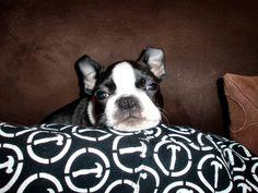 Dreamy Bean - Boston Terrier