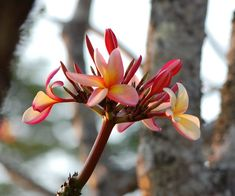 Bring Hawaii to You-Plumeria Care - Blooming Anomaly Plumeria Care, Plumeria Flowers, Fruit Flowers, Container Plants, Container Gardening, Potted Trees, Pink And White Flowers, Hardy Plants, Growing Tree