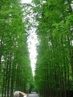 Allee of Metasequoia
