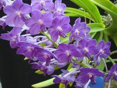 vascostylis pine river orchids   Vascostylis Pine Rivers