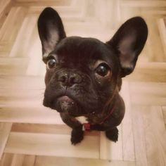our cutie little Bonnie :) #frenchie #frenchbulldog #puppy #dog #frenchiepin
