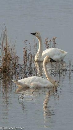 Tundra Swans - photo by Charlene Fortner