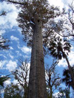 Big Tree Park - Sanf