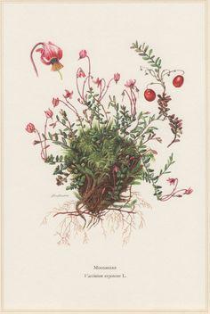 1960 Botanical Print Cranberry Vaccinium oxycoccos by Craftissimo