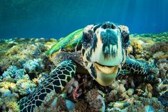 We can't help it — we're totally turtle obsessed here at Scuba Diving magazine. If you love them as much as we do, check out these amazing images and facts about these ancient marine reptiles!