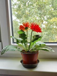 Gerbera Houseplants: Tips For Growing Gerbera Daisies Indoors - Gerbera daisies are relatively simple to grow outdoors, but growing gerbera daisies indoors can be tricky. However, if you can provide the right growing conditions, your gerbera daisy may survive for two or three years. This article will help.