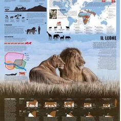Secondo infografico su uno dei cinque grandi felidi del genere Panthera. Abitudini, tassonomia, diffusione e habitat. Second infographic about lions: