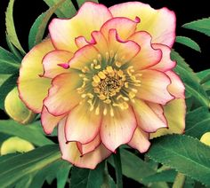 "Image of Helleborus x hybridus 'Amber Gem' I would love a hellbore ""Lenten rose"" on the east side of the house"