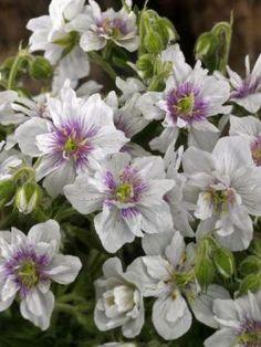 Geranium pratense ´Double Jewel´ En underbar näva med vita, rikt purpurfläckade dubbla blommor bildade i stor mängd från försommar till höst. Odlas i sol till halvskugga i frisk, väldränerad jord. Används i rabatter och är utmärkt sällskap till rosor.45 cm, jun-jul, sol-halvskugga, c/c 50 cm.